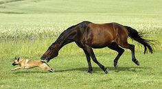 Horse Asti and Belgian Shepherd Freya take it in turns to chase each other. And 12-year-old Asti's always ahead by a neck during horse play at their farm in Buchkoebel, Germany...lol..my dog and our stallion liked this game as well..lol