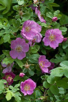 Rosa acicularis, karjalanruusu