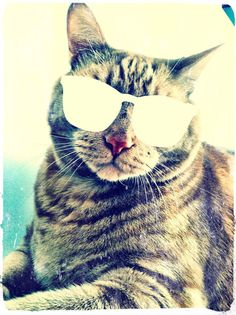 Cat + sunglasses = one cool cat. I need this on a shirt.