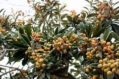 ameixa amarela eriobotrya japoica