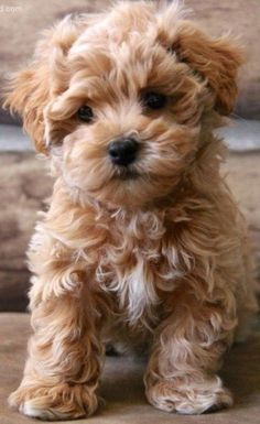 Süße Baby Tiere cute baby Rasse Maltipoo Choosing A Shower Enclosure Article Body: One of the f Super Cute Puppies, Cute Small Dogs, Cute Little Puppies, Cute Little Animals, Cute Dogs And Puppies, Baby Dogs, Teddy Bear Puppies, Doggies, Cute Dogs For Sale