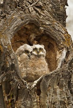 Happy Valentine's Day! Nothing says love like these two cute owls snuggling in a heart-shaped hole. Photo from Grand Teton National Park by Jon LeVasseur (www.sharetheexperience.org). And don't forget to check out our Valentine's Day video: http://on.doi.gov/20ZpqfI
