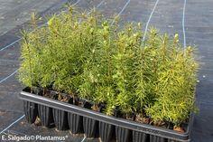 Pseudotsuga menziesii. Abeto Douglas. Pino Oregón http://www.plantamus.es/venta-de-arboles-plantacion-plantones