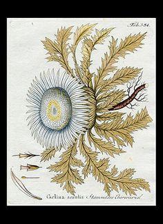 Silver Thistle [carlina acaulis] antique botanical print