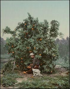 Picking Oranges - California