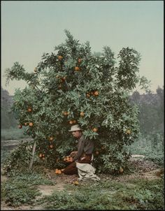 Picking Oranges - California