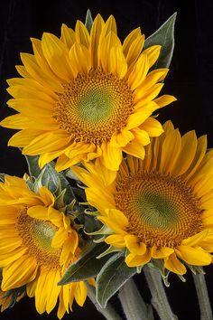 Three Sunflowers by Garry Gay -