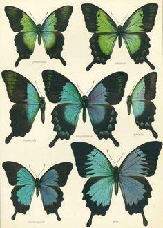 Seitz,A. | Die Groß-Schmetterlinge der Erde.