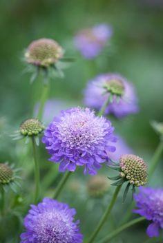 Fältvädd. Scabiosa Ritz Blue. Like sun or partial shade.  Flowers summer.