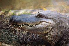 Alligator Face Photo, Gator Teeth Photography, Florida Reptile, Swamp River Lake Coastal Decor, Home Wall Art, Green Landscape Nature Print by laughlovephoto on Etsy