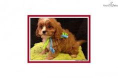 miniature blue heeler puppies for sale Cute Baby Animals