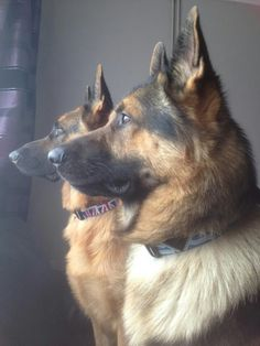 Beloved German Shepherd Dogs just fabulous never get tired of looking at any animal, my heart belongs to the GSD