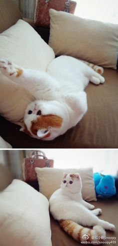 I want a flat faced cat!!!!!