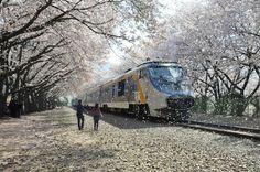 """""""The Cherry Blossom Express"""". The Jinhae Gunhangje Cherry Blossom Festival is South Korea's largest cherry blossom festival."""