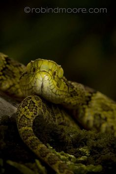 Choco forest pitviper, Bothriopsis punctata, in the Choco Department, Colombia Pretty Snakes, Hissy Fit, Pit Viper, Snake Venom, Reptiles And Amphibians, Tortoises, Fauna, Snake Reptile, Turtle