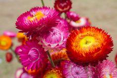 Dona Flor | Conheça as sempre-vivas, as flores que se mantêm bonitas mesmo depois de colhidas - Dona Flor