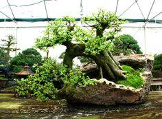 Bonsai Tree Chinese Elm Specimen Lace Rock Planting Cest 215 | eBay