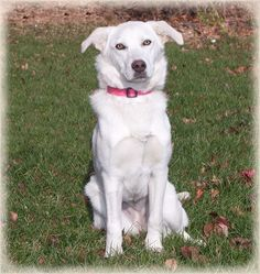 Meet Chelsey, a Petfinder adoptable Labrador Retriever Dog | Howell, MI | Chelsey  is a spayed female who was born in April, 2009.  She is current with her vaccines.Chelsey...