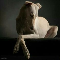 A most elegant canine, the Greyhound. Love My Dog, Beautiful Dogs, Animals Beautiful, Cute Animals, Simply Beautiful, Pet Dogs, Dogs And Puppies, Grey Hound Dog, Mundo Animal