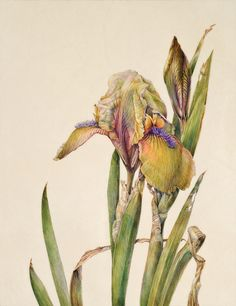 Elaine Searle Love the softness of this and hope to get that quality in my temperas. Botanical Drawings, Botanical Prints, Floral Illustrations, Art And Illustration, Watercolor Flowers, Watercolor Art, Illustration Botanique, Art Aquarelle, Nature Artists
