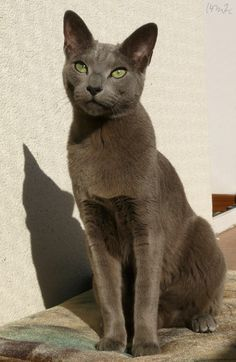 Russian Blue Cats Kittens My photography of our 2 cats. Grey Cats, White Cats, Black Cats, Kittens And Puppies, Cats And Kittens, Russian Blue Kitten, Cat Pose, Photo Chat, Tier Fotos