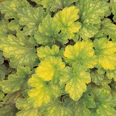 Proven Winners - Key Lime Pie - Coral Bells - Heuchera hybrid pink plant details, information and resources. Key Lime Pie, Shade Garden, Garden Plants, Coral Bells Heuchera, Pink Plant, Herbaceous Perennials, Foliage Plants, Shade Plants, Dream Garden