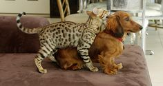 """""""Kittie, our purebred Bengal, grooming Kai, one of our miniature longhair Dachshunds.""""  Another by AceNZ on flickr"""