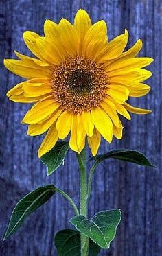 #love Sunflowers So much!!!!