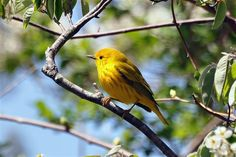 Yellow warbler at Trustom Pond Refuge (RI) -- courtesy of the U.S. Fish and Wildlife Service.