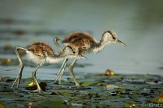 African Jacana Chicks AKA Jesus Birds Walking on Lily Pads, Chobe River, Botswana by GUTS / Pangolin Photo Safaris Chobe National Park, National Parks, Baby Animals, Cute Animals, Animal Babies, Kingfisher Bird, Kinds Of Birds, Baboon, Hyena