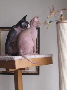 Hairless cats - AKA Sphinx cats - No hairballs in this house!