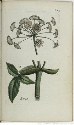 HERACLEUM - Heracleum, sphondylium. La berce / La bercette ou becette / La fausse branc-ursine / La branche-ursine sauvage