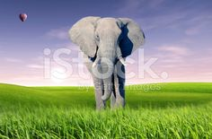 African elephant (Loxodonta africana) royalty-free stock photo