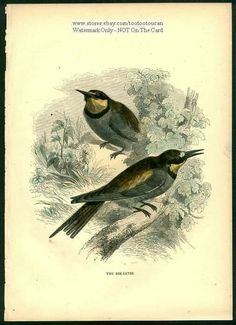 Birds: The Bee Eater c1900 Chromolithograph