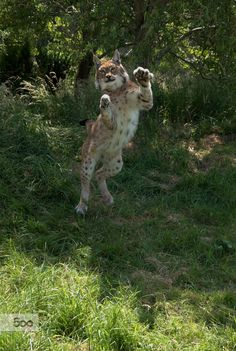 A Eurasian lynx launching off to catch prey