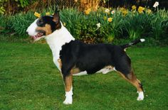 Ch. Bullyon Full Measure ~ Hercules  of Bullyon Kennels - Miniature Bull Terrier