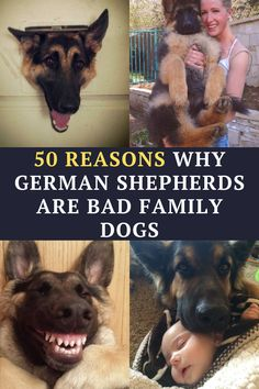 German Shepherds Are Bad Family Dogs – Here Are 50 Reasons Why: