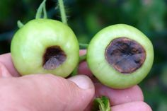 blossom end rot tomatoes