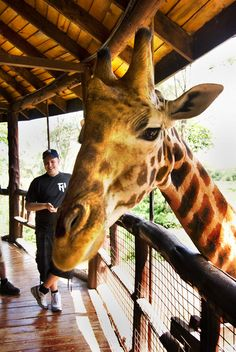 Giraffe Center #kenya #nairobi - i've been here and to handfeed a giraffe at his level is amazing.