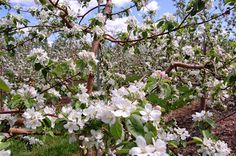 Vergers Rockburn Orchards in bloom