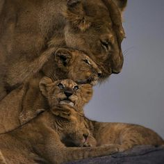 Mother and Cubs by Chris Fischer