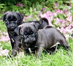 Cute Silver Pug Puppies