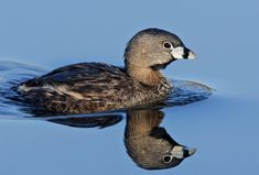 Pied-billed Grebe (Podilymbus podiceps antarcticus)The most widespread grebe in the New World, & the most familiar in most temperate parts of North America.