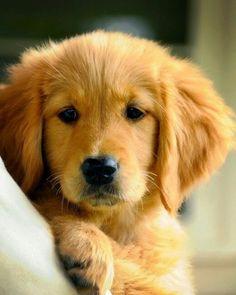 Cute Golden pup