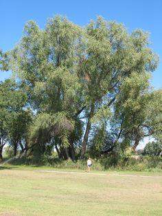 black willow (Salix nigra) Native Plants, Bees, Wild Flowers, Dolores Park, Garden, Travel, Image, Black, Garten