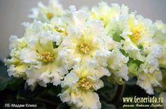 ЛЕ-Мадам Клико (2015). Св.лист 26.10.15 Пример цветения из Сети Сорт под вопросом, оставлять ли
