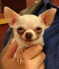Happy Chihuahua #chihuahua