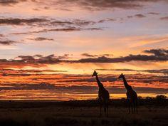 Giraffe at Sunrise, Masai-Mara Game Reserve, Kenya