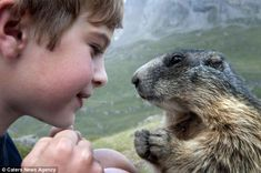 Marmot Whisperer: Matteo's mother, Michaela, a schoolteacher from Innsbruck, Austria, has uniquely captured the unique bond between Matteo and his marmot friends throughout the past four years. by Rachel McDermott, dailymail.co.uk #Marmot #Matteo_Walch #dailymail