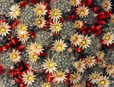 Mammillaria prolifera